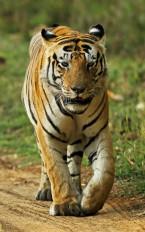 बाघ के सारे दांत घिसे, कान्हा में भूख से बाध की मौत