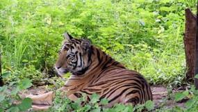 बाघ की दहशत कटाई करने खेत नहीं जा पा रहे किसान - चौरई क्षेत्र में बनी हुई है बाघ की मूवमेंट