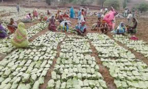 तेंदूपत्ता खरीद के लिए सरकार ने तय की दर, वन विभाग ने जारी किया शासनादेश