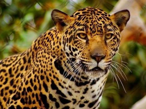 धनिया से पकड़े गए तेंदुए की टाइगर सफारी में मौत, जांच के लिए फोरेंसिक लैब जबलपुर भेजा शव