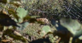 खेत की फेंसिंग में फंसा तेंदुआ, रेस्क्यू कर जंगल में छोड़ा