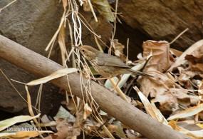 उदयपुर में मिली नई प्रजाति की बैबलर चिड़िया पफ थ्रोटेड बैबलर की राजस्थान में पहली उपस्थिति दर्ज