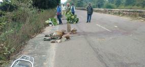 पन्ना-कटनी मार्ग पर हादसा -अज्ञात वाहन की टक्कर से एक वर्षीय मादा बाघ शावक की मौत