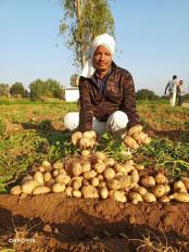 12 एकड़ में उगाया 30 लाख रुपए का आलू, सात से दस गुना तक हुई उपज