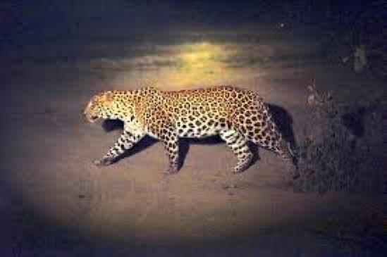 बाघ के नाखून निकालने वाले धराए, चंद्रपुर में सड़क हादसे की शिकार मादा तेंदुआ