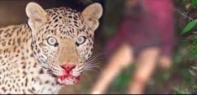 टीकमगढ़ - वन अमले के हाथ नहीं लगा तेंदुआ, तलाश तेज पन्ना से आए रेस्क्यू दल ने डाला डेरा