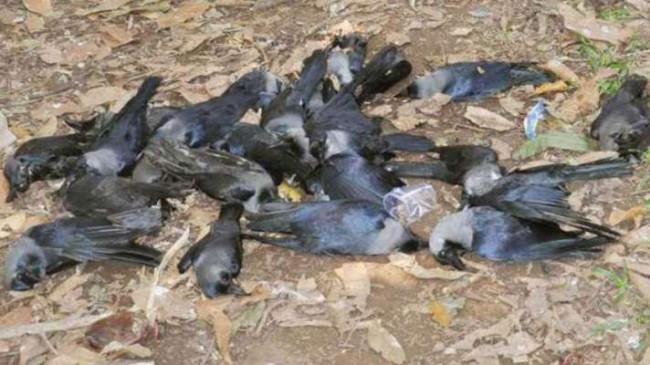 बर्ड फ्लू अलर्ट: जिले में 9 पक्षियों की मौत, प्रयोगशाल में सुरक्षित रखे गए शव
