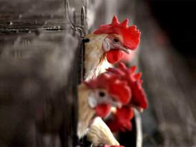 मप्र के 9 जिलों के पक्षियों में बर्ड फ्लू की पुष्टि, अब तक 29 जिलों में फैला वायरस