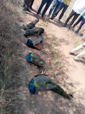 बीड जिले में पांच मोरों की मौत, नागपुर में बर्ड फ्लू से मारी गई मुर्गियों पर होगी नुकसान भरपाई