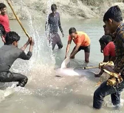 उप्र: नहर में डॉल्फिन देखते ही लोगों ने किए लाठी-कुल्हाड़ी से वार, राष्ट्रीय जलीय जीव की जान ली