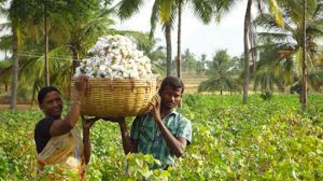 कपास उत्पादक किसानों को भुगतान के लिए 1500करोड़ के कर्ज की सरकारी गारंटी