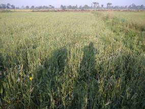 देश-दुनिया में अपनी महक बिखेरेगा सिवनी जिले का जीराशंकर चावल