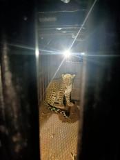 श्वान का शिकार करने घर में जा घुसा तेंदुआ, 5 घंटे की मशक्कत के बाद हुआ कैद