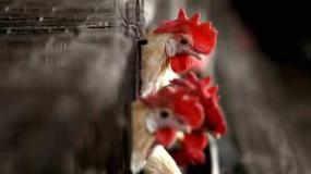 महाराष्ट्र में भी बर्ड फ्लू ने पसारे पैर,परभणी में 900 से अधिक मुर्गियों की हुई है मौत