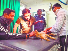 जंगली बिल्ली की हुई सर्जरी, पैर में डाली रॉड