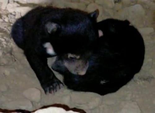 रिहायशी इलाके में भालू ने दो बच्चों को दिया जन्म -तीन दिन बाद हरकत में आया वन विभाग, दिन रात निगरानी