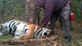फंदा लगाकर किया गया बाघिन का शिकार - कान्हा बफर जोन की घटना , दो आरापी गिरफ्तार