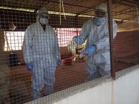 चिखलीकलां के पोल्ट्री फार्म में ढाई हजार मुर्गी के चूजों की मौत, चूजों को जांच के लिए भोपाल भेजा