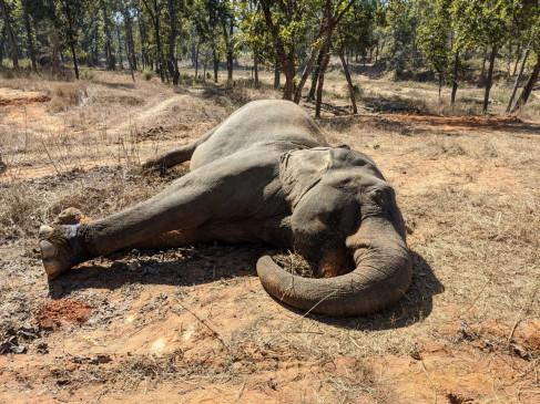 बांधवगढ़ में मादा हांथी की मौत - 3 दिन से नहीं खा रही थी खाना , 70 वर्ष थी उम्र
