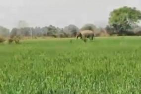 बिहार के नवादा में हाथी का उत्पात, अब तक 4 को कुचला, हाथियों के झुंड से अलग होकर गांव में पहुंचा
