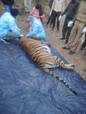 दो बाघों की लड़ाई में मादा की मौत - दहाड़ों से थर्रा गया था जंगल