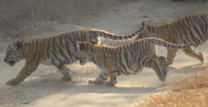 पेंच नेशनल पार्क में बाघिन के साथ दिखे नन्हे शावक, पर्यटकों ने कैमरे में किया कैद