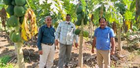 घाटे का सौदा बनी धान की खेती - पपीता एवं सब्जियों से पांच लाख प्रति एकड़ तक कमाए उन्नत किसान ने