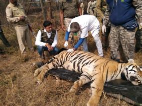 40 महीने के बाद जंगल में दहाड़ेगा टाइगर, घोरेल्ला से शावक को मुक्की में छोड़ा
