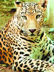 तेंदुओं ने किया बछड़ों का शिकार किसान दहशत में