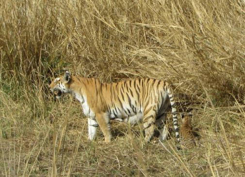 पन्ना टाइगर रिजर्व की सबसे सुंदर बाघिन टी-6 ने दिया चार शावकों को जन्म - तीन माह में 13 शावक