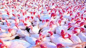 नागपुर जिले में फिर 'बर्ड फ्लू' ने दी दस्तक,228 पक्षियों को जमीन में गाड़ा