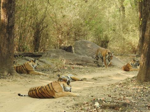 कान्हा: रास्ता रोककर बैठी चार शावक के साथ नैना, पर्यटकों के खिले चेहरे
