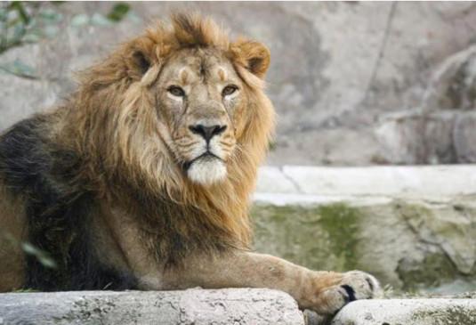 भारत में पहली बार जानवरों में पहुंचा कोरोनावायरस, हैदराबाद के ज़ू में 8 शेरों का टेस्ट पॉजिटिव आया
