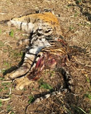 उमरिया का मामला - घुनघुटी जंगल में मिला बाघ का कंकाल