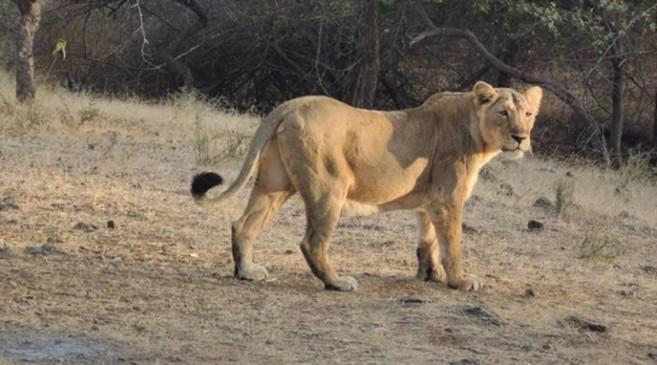 चेन्नई के चिड़ियाघर में शेरनी की मौत के बाद, नौ शेरों का कोरोनावायरस टेस्ट पॉजिटिव आया