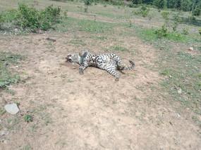 शिकार करने बिछाए गए विद्युत करंट की चपेट में आने से नर व मादा तेंदुए की मौत