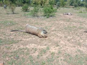 शिकार के लिए बिछाए गए विद्युत करंट की चपेट में आने से दो तेंदुओं की मौत