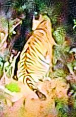 वन क्षेत्र में बाघ व तेंदुए ने किया 3 साल में 1500 से ज्यादा शिकार
