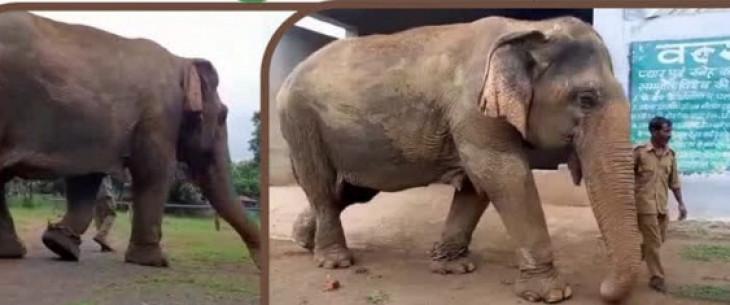 पन्ना टाईगर रिजर्व की उम्रदराज हथिनी वत्सला हुई बीमार -100 साल से ज्यादा है उम्र