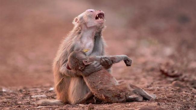 मानवता को झकझोर देने वाली खबर, 30 बंदरों को पीट-पीटकर मारा गया