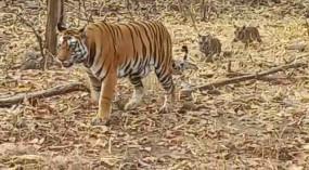 विश्व बाघ दिवस आज - फॉदर ऑफ टाइगर रिजर्व का रुतबा हासिल है पेंच के टी-3 को , बाघ विहीन हो चुके पन्ना में अब 70 बाघ