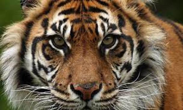 बाघों के अंगों की तस्करी करने वाले 29 गिरफ्तार, 1 करोड़ से अधिक का गांजा पकड़ा