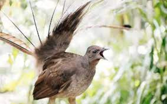 Lyre Bird imitation bird Lyrebird an imitation human bird that imitates the sound of the engine of a human vehicle
