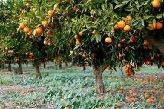 ईंटभट्टियों और स्टोनक्रेशर के कारण संतरे की फसल हो रही बर्बाद